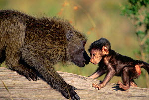 Olive baboon adult sniffing baby. - Anup Shah