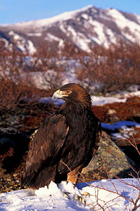 Golden eagle {Aquila chrysaetos} Alaska, US - captive  -  Lynn M Stone