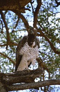Martial eagle {Polemaetus bellicosus} Kenya, East Africa  -  SIMON KING