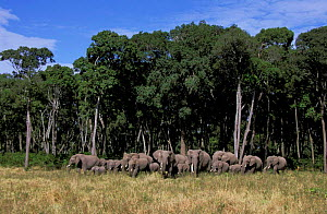 Herd of African elephants coming out of trees {Loxodonta africana} Masai Mara, Kenya  -  Marguerite Smits Van Oyen