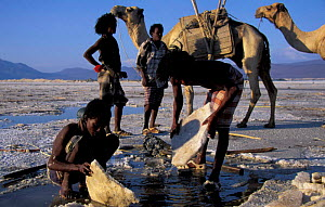 Afar tribesmen mining salt, Lac Assal, Djibouti, East Africa. 150m below sea level. Sea water seeps through into lake and evaporates. - Marguerite Smits Van Oyen