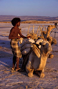 Afar tribesman loading salt onto camel. Lac Assal, Djibouti, East Africa. 150m below sea - Marguerite Smits Van Oyen