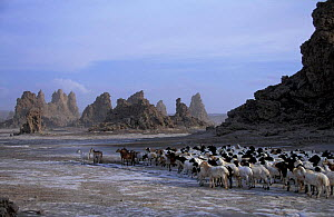 Mineral 'chimneys' of Lac Abbe, Djibouti, East Africa + herdsman with flock of goats. Chimneys - Marguerite Smits Van Oyen