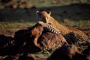 Leopard with Wildebeest kill, Masai Mara, Kenya. 'Safi' from Big Cat Diary 2000  -  Marguerite Smits Van Oyen