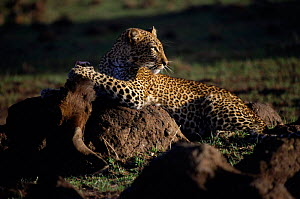 Leopard with Wildebeest kill. Masai Mara, Kenya. 'Safi' from Big Cat Diary 2000  -  Marguerite Smits Van Oyen