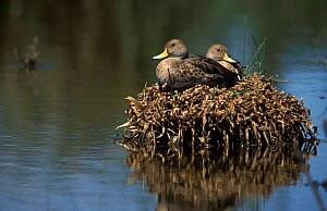 Georgian teal / Brown pintail duck pair on nest {Anas georgica} La Pampa, Argentina  -  Gabriel Rojo