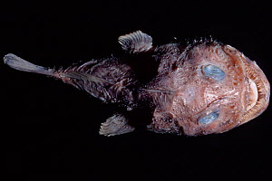 Goosefish / Anglerfish {Lophiodes sp} dead specimen from deep sea - DOC WHITE