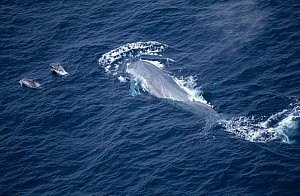 Aerial  Blue whale at sea surface {Balaenoptera musculus} swimming with two Risso's dolphins, Mexico - DOC WHITE