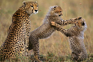 Cheetah cubs playing near mother {Acinonyx jubatus} Masai Mara, Kenya  -  Anup Shah