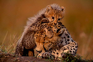 Cheetah cub playing with mother {Acinonyx jubatus} Masai Mara, Kenya  -  Anup Shah