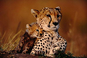 Cheetah cub cuddling up to mother {Acinonyx jubatus} Masai Mara, Kenya  -  Anup Shah