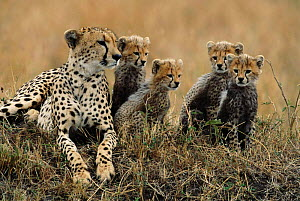Cheetah mother with four cubs {Acinonyx jubatus} Masai Mara, Kenya - Anup Shah