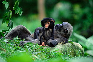 Chimpanzee baby with resting mother {Pan troglodytes} Gombe NP, Tanzania - Anup Shah