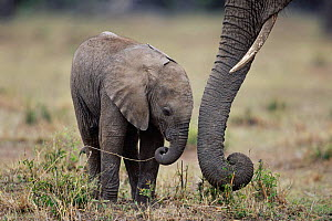 Young African elephant calf beside mother's trunk {Loxodonta africana} Masai Mara, Kenya  -  Anup Shah