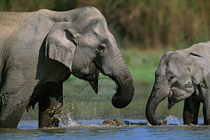 Indian elephant mother with young drinking in water {Elephas maximus} India - Anup Shah