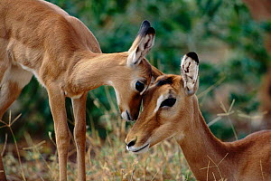 Impala mother and baby, head to head {Aepyceros melampus} Masai Mara, Kenya  -  Anup Shah