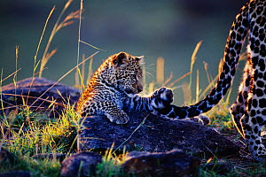 Leopard cub playing with mother's tail {Panthera pardus} - Anup Shah