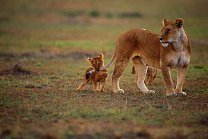 Lion cub playing with mother's tail {Panthera leo} Masai Mara, Kenya - Anup Shah