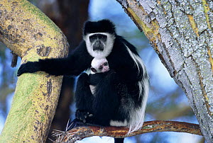 Eastern Black and white colobus monkey holding baby {Colobus guereza} in tree Kenya - Anup Shah