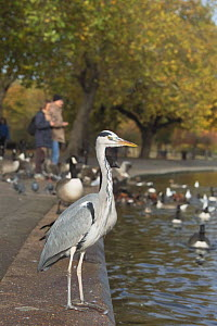 Grey heron {Ardea cinerea} Regents Park, London, UK  -  Georgette Douwma