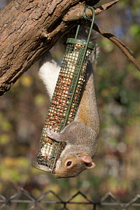 Grey squirrel {Sciurus carolinensis} taking nuts from bird feeder, Regents Park, London, UK  -  Georgette Douwma