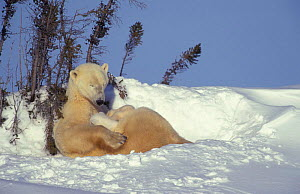 Polar bear resting with 3month-old cubs {Ursus maritimus} Churchill, Manitoba,  -  Eric Baccega