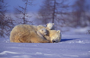 Polar bear resting with two 3-month-old cubs {Ursus maritimus} Churchill, Manitoba,  -  Eric Baccega