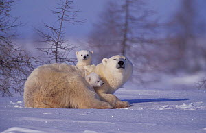 Polar bear with two 3-month-old cubs {Ursus maritimus} Churchill, Manitoba, Canada  -  Eric Baccega