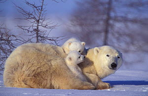 Polar bear with two 3m-old cubs {Ursus maritimus} Churchill, Manitoba, Canada  -  Eric Baccega