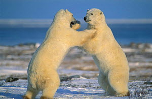 Polar bears play fighting {Ursus maritimus} Churchill, Manitoba, Canada  -  Eric Baccega