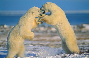 Polar bears fighting {Ursus maritimus} Churchill, Manitoba, Canada  -  Eric Baccega
