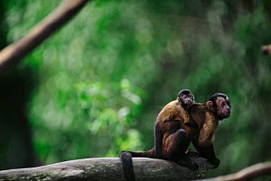 Brown capped capuchin monkey carrying young on back {Cebus apella} Captive  -  Anup Shah