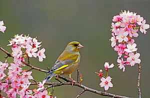 Greenfinch male perched amongst spring blossom {Carduelis chloris} Wiltshire, UK  -  David Kjaer