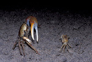 Fiddler crab {Uca sp} male displaying to female, Florida, U - Barry Mansell