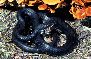 Southern black racer snake {Coluber constrictor priapus}  -  Barry Mansell