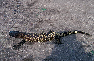 Mexican beaded lizard {Heloderma horridum} Sonora, Mexico Venomous species  -  Barry Mansell