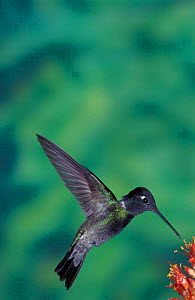 Magnificent hummingbird hovering at flower {Eugenes fulgens} Arizona, USA  -  Barry Mansell