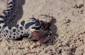 Southern hognose snake eating toad {Heterodon simus} USA Note toad puffed up in defense  -  Barry Mansell