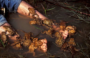 European common toad, males trying to mate with biologists feet {Bufo bufo} Hungary - John Cancalosi
