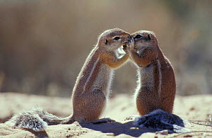 Cape ground squirrel 'kissing' {Xerus inauris} Kgalagadi TP, South Africa  -  Andrew Parkinson