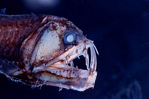 Viperfish {Chauliodus sloani} - deep sea specimen from Galapagos Pacific  -  DOC WHITE