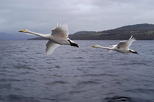 Imprinted  Whooper swans following their owners on Loch Lommond, Scotland, UK, during filming for BBC NHU 'Journey of Life'  -  Mark Payne-Gill
