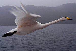 Imprinted Whooper swan following its owners on Loch Lommond, Scotland, UK, during filming for BBC NHU 'Journey of Life'  -  Mark Payne-Gill