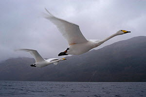 Imprinted Whooper swans fly after their owners on Loch Lommond, Scotland, UK , during filming for BBC NHU 'Journey of Life'  -  Mark Payne-Gill