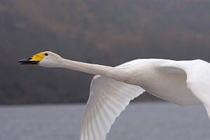 Imprinted Whooper swan flies after its owners on Loch Lommond, Scotland, UK, during filming for BBC NHU 'Journey of Life'  -  Mark Payne-Gill