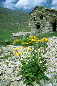 Large flowered Leopard's bane in flower beside mountain house {Doronicum grandiflorum} Gran Paradiso NP, Alps, Italy  -  Philippe Clement