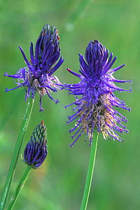 Micheli's rampion in flower {Phyteuma michellii} Gran Paradiso NP, Alps, Italy  -  Philippe Clement