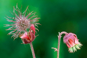 Water avens seedheads {Geum rivale} Gran Paradiso NP, Alps, Italy  -  Philippe Clement