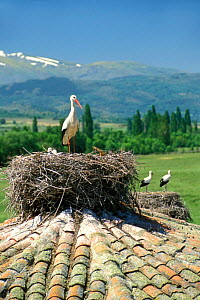 White storks nesting on roof {Ciconia ciconia} Spain  -  Philippe Clement