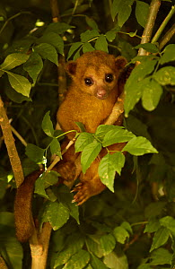 Kinkajou in tree {Potos flavus} Amazon Rainforest, Ecuador, South America - Pete Oxford